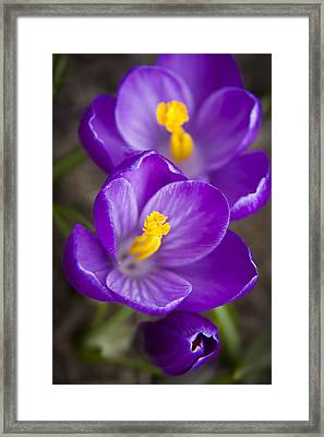 Spring Crocus Framed Print by Adam Romanowicz