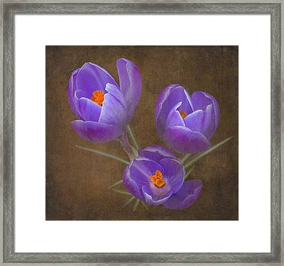 Spring Crocus Framed Print by Angie Vogel