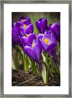 Spring Crocus Bloom Framed Print by Adam Romanowicz