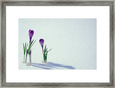 Spring Crocuses In Snow  Framed Print by Anonymous