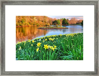 Spring Daffodils At Laurel Ridge-connecticut  Framed Print by Thomas Schoeller