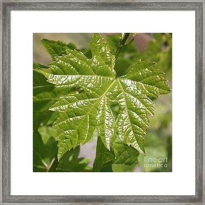 Spring Grape Leaf Framed Print by Carol Groenen