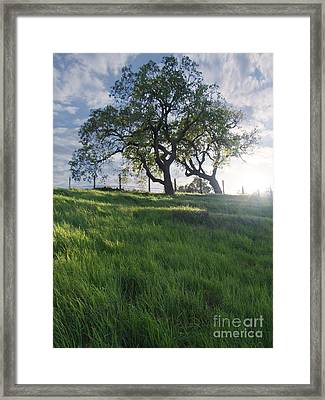 Spring Oaks Framed Print by Stu Shepherd