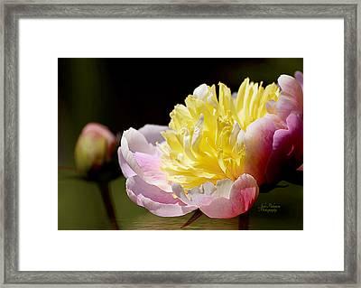 Spring Peony 4 Framed Print by Julie Palencia