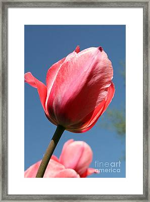Spring Tulip Blues Framed Print by Neal  Eslinger