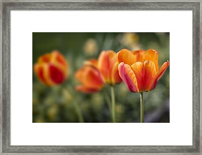 Spring Tulips Framed Print by Adam Romanowicz