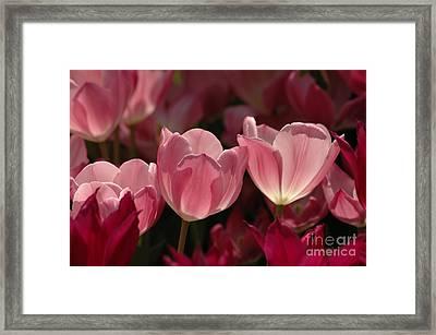 Spring Tulips Framed Print by Kathleen Struckle