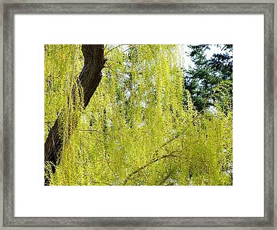 Spring Weeping Willow Framed Print by Will Borden
