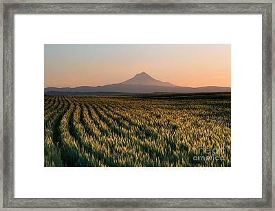Spring Wheat Framed Print by Mike  Dawson