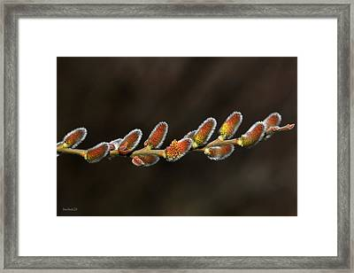 Spring Willow Buds Framed Print by Donna Kennedy
