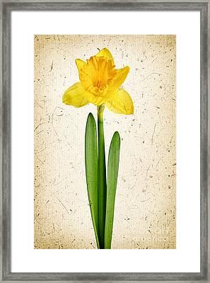 Spring Yellow Daffodil Framed Print by Elena Elisseeva