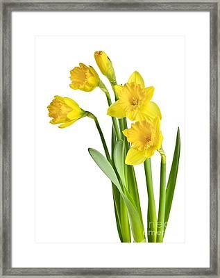Spring Yellow Daffodils Framed Print by Elena Elisseeva