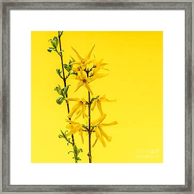 Spring Yellow Forsythia Framed Print by Elena Elisseeva