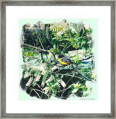 Springtime Moments- Oriole With The Cherry Blossoms Framed Print by Patricia Keller