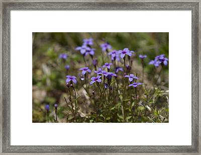 Springtime Tiny Bluet Wildflowers - Houstonia Pusilla Framed Print by Kathy Clark