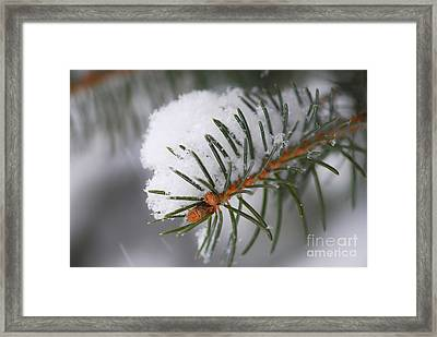 Spruce Branch With Snow Framed Print by Elena Elisseeva