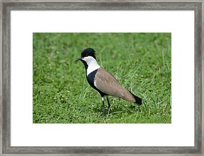 Spur-winged Plover Framed Print by Nigel Downer