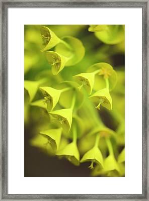 Spurge (euphorbia Characias) Framed Print by Maria Mosolova