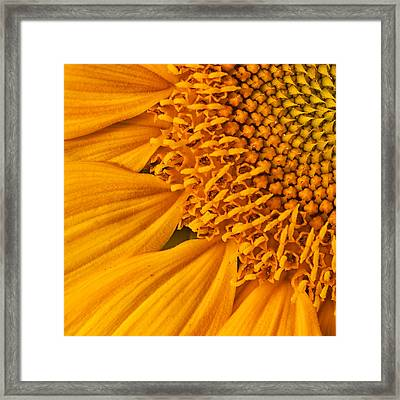 Square Sunflower Framed Print by Mark Kiver