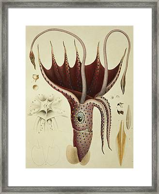 Squid Framed Print by A Chazal