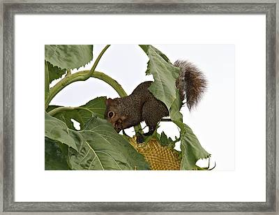 Squirrel Framed Print by Dan Sproul