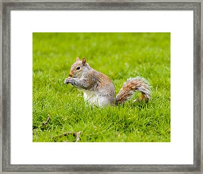 Squirrel Framed Print by Dutourdumonde Photography