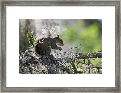 Squirrel Eating In An Oak Tree Framed Print by Sheila Haddad