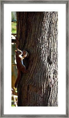Squirrel Framed Print by Jeffrey J Nagy