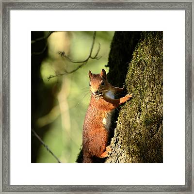 Squirrel On Tree  Posing Framed Print by Toppart Sweden