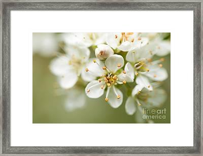 St Lucie Cherry Blossom Framed Print by Anne Gilbert