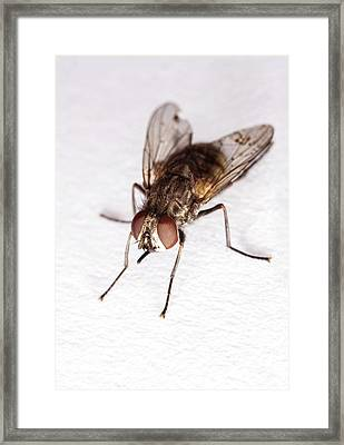 Stable Fly Framed Print by Stephen Ausmus/us Department Of Agriculture