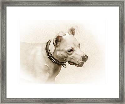 Staffordshire Terrier Framed Print by Ian Hufton