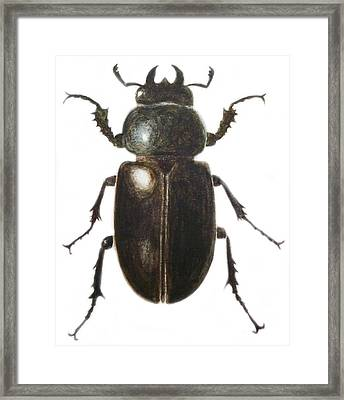 Stag Beetle Framed Print by Ele Grafton