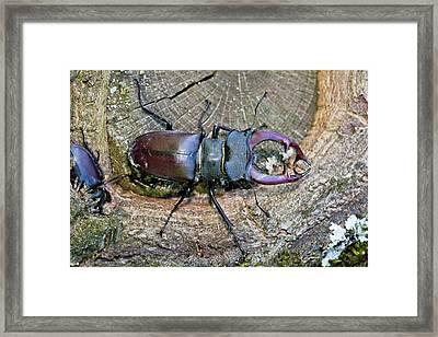 Stag Beetles Framed Print by Bob Gibbons