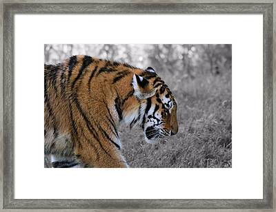 Stalking Tiger Framed Print by Dan Sproul