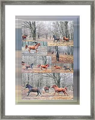 Stallions Enjoy Some Horsing Around Framed Print by Patricia Keller