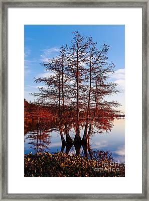 Stand Of Bald Cypress Trees At Ba Steinhagen Lake In Martin Dies Jr State Park - Jasper East Texas Framed Print by Silvio Ligutti