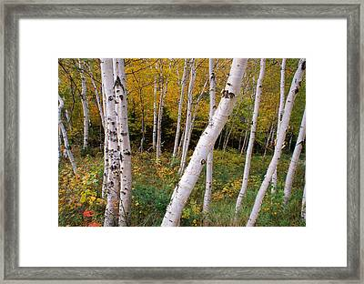 Stand Of White Birch Trees Framed Print by Panoramic Images