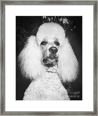 Standard Poodle Framed Print by ME Browning