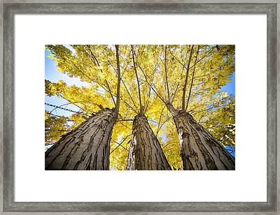 Standing Tall Autumn Maple Framed Print by James BO  Insogna