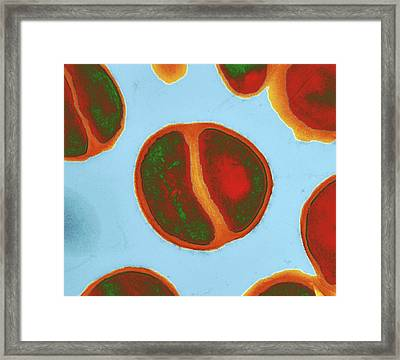 Staphylococcus Epidermidis Bacteria Framed Print by Dr Klaus Boller
