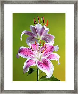 Star Gazer Lily Framed Print by Vickie Szumigala