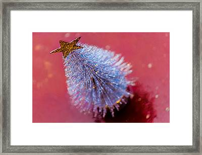 Star Of Christmas Framed Print by Filomena Francisco