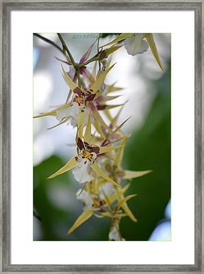 Star Orchids Framed Print by Sonali Gangane