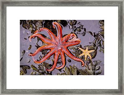 Starfish In Tidal Pool Framed Print by Mark Newman