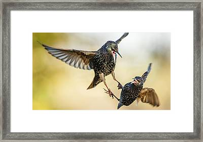 Starling Aerial Battle Framed Print by Izzy Standbridge