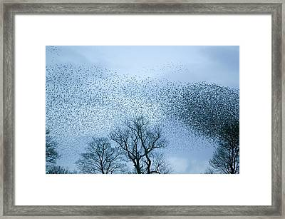 Starlings Flying To Roost Framed Print by Ashley Cooper