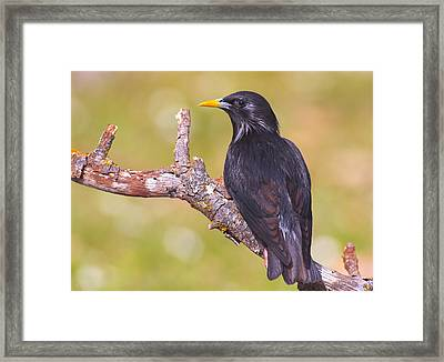 Starlings Framed Print by Guido Montanes Castillo