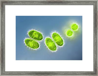Staurastrum Sp. Green Alga Framed Print by Gerd Guenther