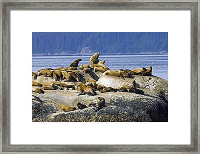 Steller Sea Lions On Haulout South Framed Print by Don Pitcher
